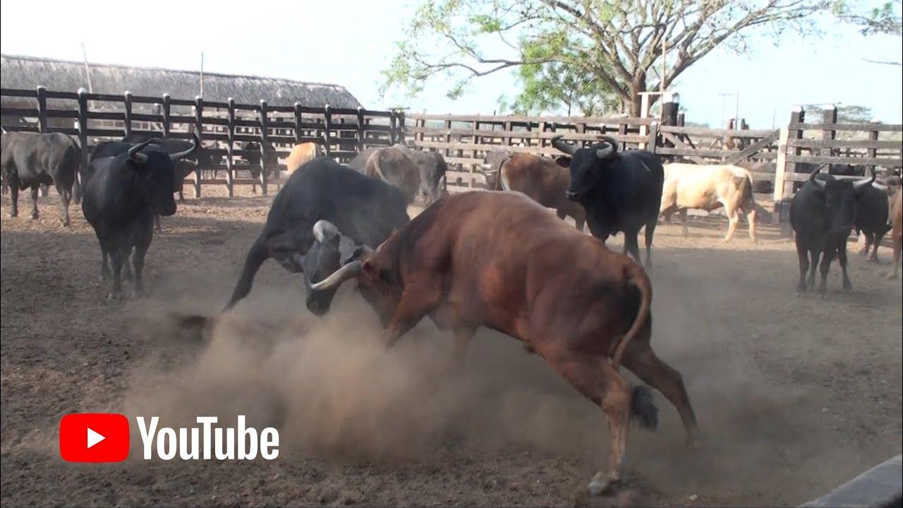 Pelea De Toros En Los Corrales Youtube