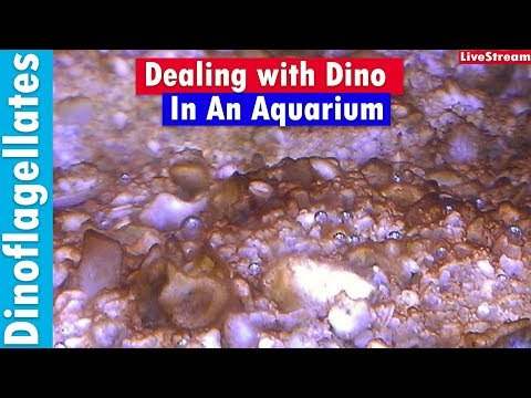 Dino-flagellates In You Saltwater Reef Tank - How To Kill Dino In Your Aquarium