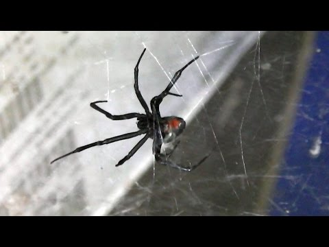 Australian Redback Spider (Latrodectus hasseltii) 🕷