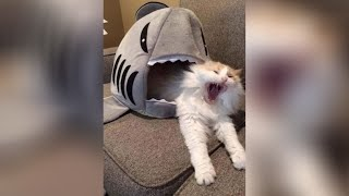 Try Not To Laugh Challenge  Funny Cat Vines compilation 2020