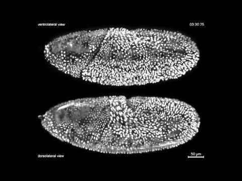 Drosophila melanogaster: desarrollo embrionario