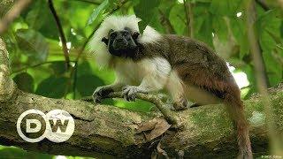 Kolumbien: Rettet den Liszt-Affen! | DW Deutsch