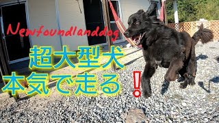 超大型犬BOSS君がついに本気のダッシュ❕ Ultra large dog Newfoundlandd...