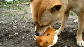 美味しそうに梨を食べる山陰柴犬もみじ.