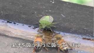 チャバネアオカメムシ・マメコガネ120810