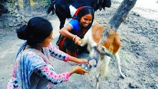 The Beautiful Girl is Goats Milk Dohan | Goat Milk | Village Style Milking
