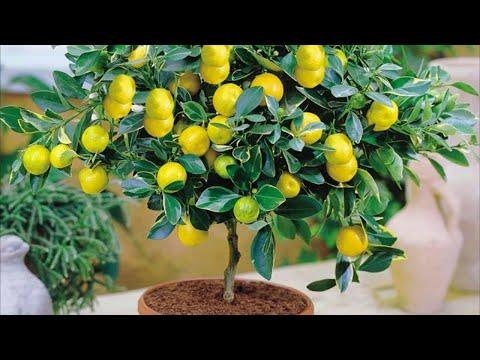 Как вырастить лимон из косточки в домашних условиях. Лимонное дерево, лимон в доме, лимон на окне