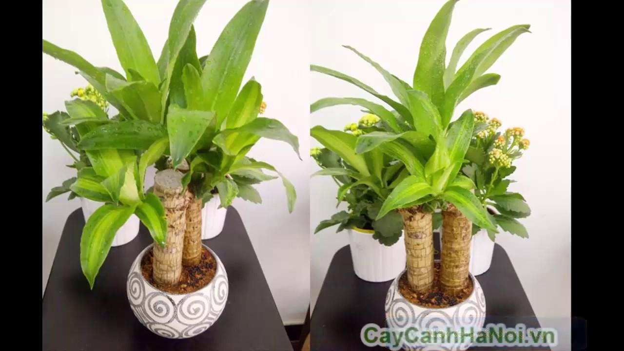 Cây thiết mộc lan, cây phát tài, cây phất dụ thơm – Cây phong thủy nên có trong nhà