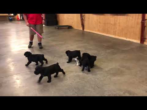 WOW! LOOK! Cute Giant Schnauzer Puppies 'T' Litter 6 Wks von Prufenuden BAB Candidates For Sale