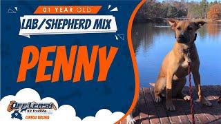 1YO Lab/Shepherd Mix (Penny) / Off Leash K9 Training / Best Dog Trainers/ Richmond, VA