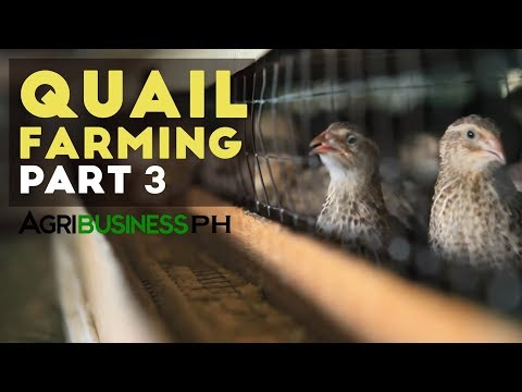Quail farming and layer management | Quail farming part 3 #Agriculture