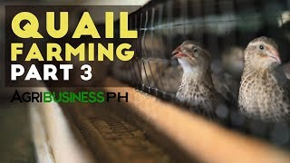 Quail Farming Part 3 : Quail Farming and Layer Management | Agribusiness Philippines