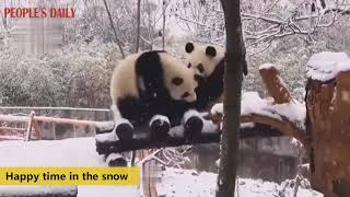 Qi Zai, the world's only captive-bred brown giant panda, and his friends play happily in the snow