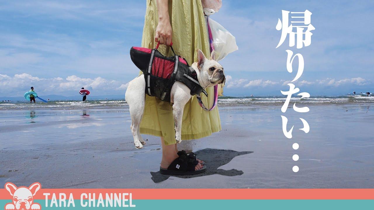 海から逃げたい犬と海を楽しむ夫婦【フレンチブルドッグ】