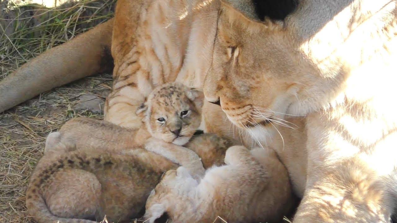 Мамы разные нужны, мамы разные важны. Тайган. Animal moms. Taigan.