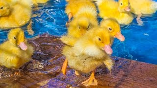 Benton County Fairgrounds Petting Zoo Ducklings 2014
