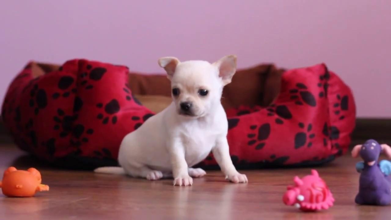 Чихуахуа ,щенки элитных кровей,купить в Украине.CHIHUAHUA puppy .