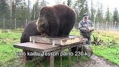 Karhujen punnitusta