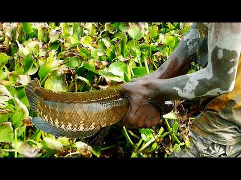 Primitive Hand Fishing। Catch A Lot Of Fish By Professional Fish Hunter