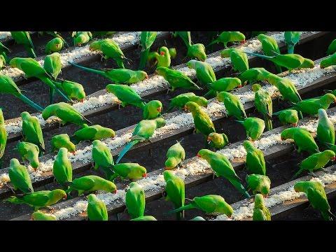 India's 'Birdman' Feeds 4,000 Parakeets A Day