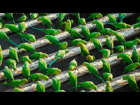 A man in Chennai started feeding wild parakeets 10 years ago. Now 4000 come to his house to be fed everyday