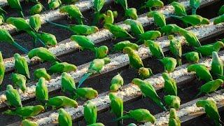 きっかけは2羽のつがいのインコだった。以来4000羽のインコのお世話をし続けるおじいさん(インド)