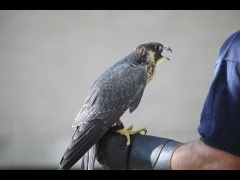 Peregrine Falcons at University of Michigan Health System