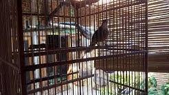 lengkingan cucak jenggot Sumatra