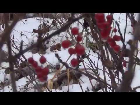 Декоративный кустарник калина обыкновенная: фото, описание