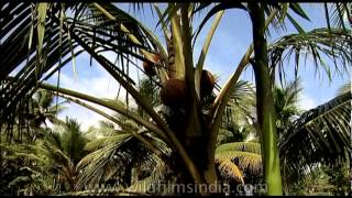 how to make toddy from coconut tree