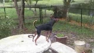 Miniature Pinscher Dog Barks Like Crazy