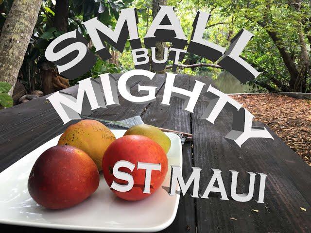 Unique mango taste comparison: ST Maui vs Ice Cream vs Dwarf Hawaiian vs Vallenato