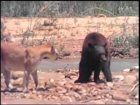 شاهد الاسد في مواجهه مع الدب