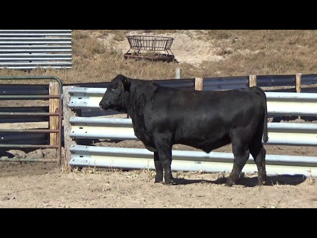 Connealy Angus Lot 167