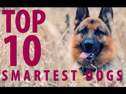 top-10-smartest-dog-breeds:-most-teachable,-trainable-dogs