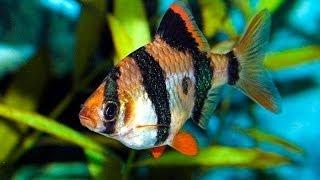Барбус панда - купить рыбку для аквариума(Купить прямо сейчас рыбку для аквариума Барбус панда на сайте http://aquazona.com.ua/cat/akvariumnai_riba/ribka/9820.html по самым..., 2014-02-02T15:02:39.000Z)
