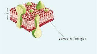 A membrana plasmática -  Parte 1: Funções e estrutura