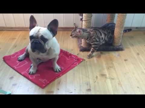 Dog vs. cat. Frenchie and bengal meets for the first time! Love at first sight!?
