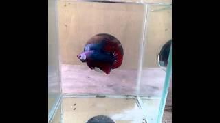 ikan cupang giant fancy(ali putra betta borneo)
