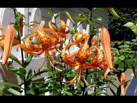 Tiger Lily - Gardening 101 By Dr. Greenthumb