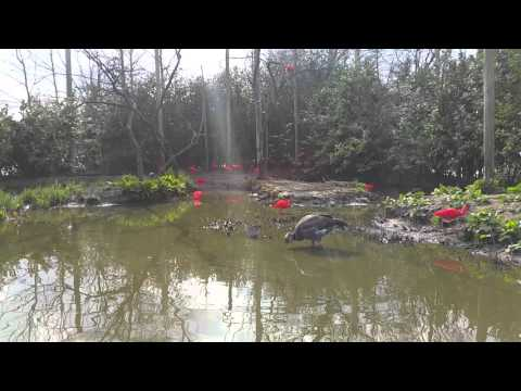 Crested screamer and scarlet ibis at Rotterdam Zoo