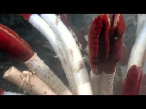 Galápagos Rift 2011: New Hydrothermal Vent Discovered