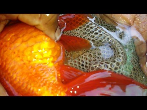 desove de goldfish manual o cortejo