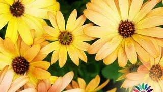 Красиви цветя за саксия - Африканска маргаритка (Диморфотека) dimorphotheca aurantiaca seeds