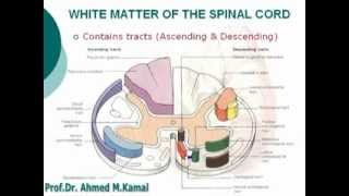 10. White Matter of the Spinal Cord - Neuroanatomy (10) (Dr/ Ahmed Kamal)