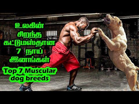உலகின் தலைசிறந்த 7 கட்டுமஸ்தான பலம் மிக்க  நாய் இனங்கள் Top 7 Strongest/Muscular Dogs | SAVAGE POINT