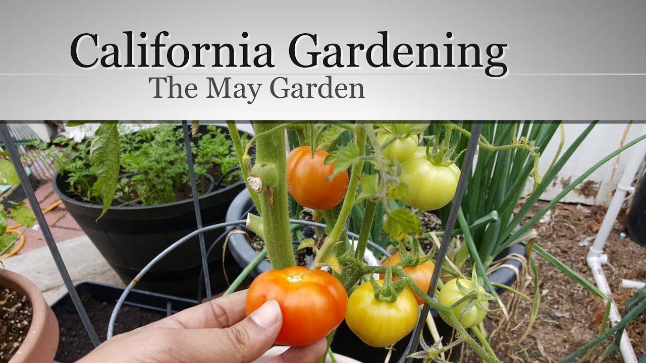 the california garden in may first tomato harvest in 4k - California Garden