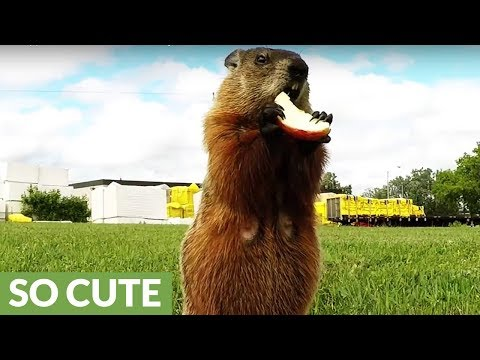 Gopher eats apple in the most adorable way
