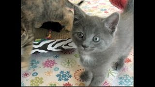 Cleo Starts To Bite & Kittens Are Unstoppable - #33 - Rescue Kittens Socialization