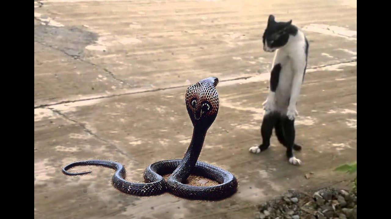 cat vs cobra cat tiger attack king cobra real fight
